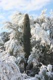 χιόνι saguaro Στοκ Φωτογραφίες