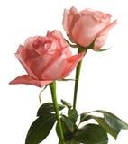 χλωμά τριαντάφυλλα δύο στοκ εικόνες