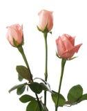 χλωμά τριαντάφυλλα τρία Στοκ Εικόνες