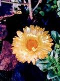 Χλωμιάστε - κίτρινο λουλούδι στοκ φωτογραφία με δικαίωμα ελεύθερης χρήσης