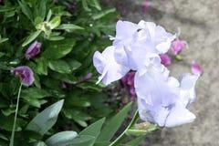 Χλωμιάστε - μπλε λουλούδι ίριδων που ανθίζει σε έναν κήπο την άνοιξη στοκ εικόνες