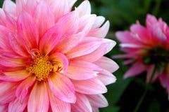 Χλωμιάστε - ρόδινα άνθη στον κήπο στοκ εικόνα