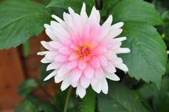 Χλωμιάστε - ρόδινα λουλούδια στην έκθεση λουλουδιών Χονγκ Κονγκ Στοκ Φωτογραφίες