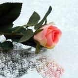 Χλωμιάστε - ρόδινος αυξήθηκε κονιοποιημένος με το χιόνι στοκ φωτογραφία