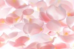 Χλωμιάστε - ρόδινος αυξήθηκε υπόβαθρο πετάλων λουλουδιών Στοκ Φωτογραφίες