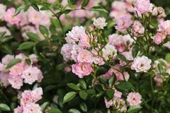 Χλωμιάστε - ρόδινος θάμνος τριαντάφυλλων στοκ φωτογραφίες