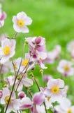 Χλωμιάστε - ρόδινο ιαπωνικό anemone λουλουδιών, κινηματογράφηση σε πρώτο πλάνο Σημείωση: Ρηχό βάθος Στοκ Εικόνα