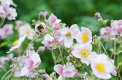 Χλωμιάστε - ρόδινο ιαπωνικό anemone λουλουδιών, κινηματογράφηση σε πρώτο πλάνο Σημείωση: Ρηχό βάθος Στοκ Φωτογραφία