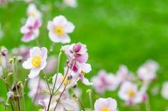 Χλωμιάστε - ρόδινο ιαπωνικό anemone λουλουδιών, κινηματογράφηση σε πρώτο πλάνο Στοκ Φωτογραφίες