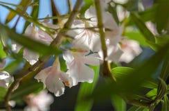 Χλωμιάστε - ρόδινο λουλούδια ή Oleander Nerium Oleander στοκ φωτογραφία με δικαίωμα ελεύθερης χρήσης