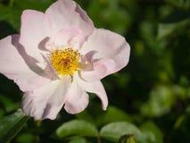 Χλωμιάστε - ρόδινο λουλούδι στοκ εικόνες