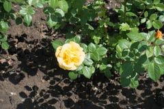 Χλωμιάστε - το κίτρινο λουλούδι αυξήθηκε στοκ εικόνες με δικαίωμα ελεύθερης χρήσης