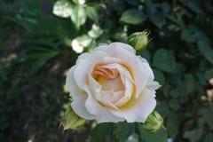 Χλωμιάστε - το ρόδινο λουλούδι αυξήθηκε στοκ εικόνα