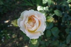 Χλωμιάστε - το ρόδινο λουλούδι αυξήθηκε στοκ εικόνες