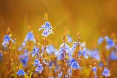 Χλωμός - τα μπλε λουλούδια forget-me-nots αυξάνονται στο ηλιόλουστο λιβάδι Στοκ φωτογραφίες με δικαίωμα ελεύθερης χρήσης