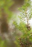 Χλωρίδα θλγραν θλθαναρηα - του arborea της Erica Στοκ φωτογραφία με δικαίωμα ελεύθερης χρήσης
