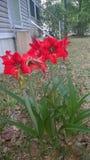 Χλωρίδα στο ανατολικό Τέξας 2019 Amaryllis 002 στοκ εικόνες με δικαίωμα ελεύθερης χρήσης