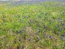 Χλωρίδα Urkainy Πολωνός με πολλά μπλε και άσπρα λουλούδια, πράσινα φύλλα των διαφορετικών μορφών, πράσινη χλόη, καφετής οφθαλμός Στοκ Φωτογραφίες