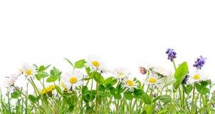 Χλόη άνοιξη και απομονωμένο wildflowers υπόβαθρο μαργαριτών απεικόνιση αποθεμάτων