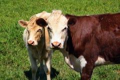 χλόη αγελάδων πράσινη στοκ εικόνα