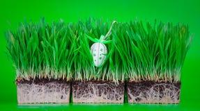 χλόη αυγών Πάσχας που κρύβεται Στοκ Εικόνες