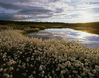 χλόη βαμβακιού της Αλάσκας Στοκ Φωτογραφίες