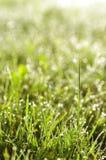 χλόη δροσιάς πράσινη Στοκ Εικόνα