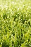 χλόη δροσιάς πράσινη Στοκ Φωτογραφία