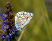 χλόη πεταλούδων στοκ φωτογραφίες