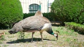 Χλόη πουλιών Peacock απόθεμα βίντεο