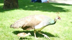Χλόη πουλιών Peacock φιλμ μικρού μήκους