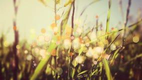 Χλόη που κυματίζει στον αέρα σε ένα ηλιοβασίλεμα φιλμ μικρού μήκους