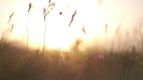 Χλόη τομέων στην κινηματογράφηση σε πρώτο πλάνο ηλιοβασιλέματος απόθεμα βίντεο