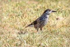 Χλόη φθινοπώρου πουλιών καρυοθραύστης Στοκ εικόνες με δικαίωμα ελεύθερης χρήσης
