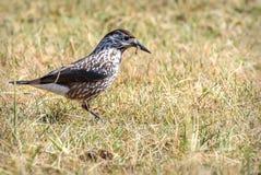 Χλόη φθινοπώρου πουλιών καρυοθραύστης Στοκ φωτογραφία με δικαίωμα ελεύθερης χρήσης