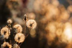 Χνουδωτές ευγενείς άσπρες πικραλίδες λουλουδιών Στοκ Φωτογραφίες