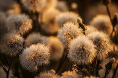 Χνουδωτές ευγενείς άσπρες πικραλίδες λουλουδιών Στοκ Εικόνα