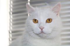 Χνουδωτή άσπρη γάτα με τα λαμπρά πορτοκαλιά μάτια στοκ εικόνες