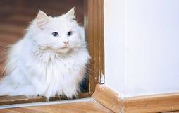 Χνουδωτή άσπρη συνεδρίαση γατών σε ένα πάτωμα Στοκ Εικόνες