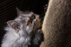 Χνουδωτή γάτα, χαριτωμένο γατάκι, γάτα γατών, κυνηγός γατών, βάναυση γάτα στοκ φωτογραφίες