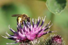 Χνουδωτή καυκάσια άγρια μέλισσα Macropis κινηματογραφήσεων σε πρώτο πλάνο fulvipes στα inflores στοκ εικόνα