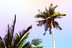 Χνουδωτή κορώνα φοινίκων στο ηλιόλουστο υπόβαθρο μπλε ουρανού Τονισμένη όνειρο φωτογραφία ουράνιων τόξων Στοκ Φωτογραφία