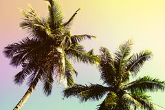 Χνουδωτή κορώνα φοινίκων στο ηλιόλουστο υπόβαθρο μπλε ουρανού Ζωηρόχρωμη τονισμένη φωτογραφία Στοκ Εικόνες