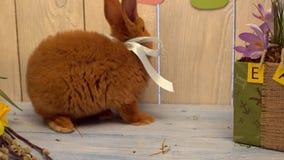 Χνουδωτή κουνελιών Πάσχας smeling δέσμη έννοιας συμβόλων εορτασμού παραδοσιακή των τουλιπών απόθεμα βίντεο