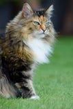 Χνουδωτή τιγρέ γάτα Στοκ φωτογραφία με δικαίωμα ελεύθερης χρήσης