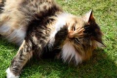 Χνουδωτή τιγρέ γάτα Στοκ Εικόνα