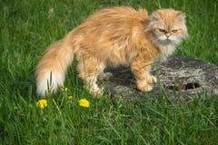 Χνουδωτοί κόκκινοι περίπατοι γατών στη χλόη και τα λουλούδια Στοκ Φωτογραφία