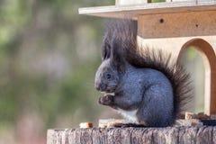 Χνουδωτός γκρίζος σκίουρος στοκ εικόνες