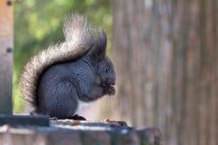 Χνουδωτός γκρίζος σκίουρος στοκ φωτογραφίες με δικαίωμα ελεύθερης χρήσης