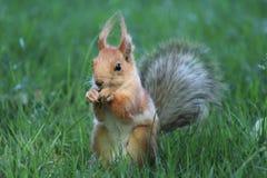 Χνουδωτός σκίουρος στο πάρκο στοκ εικόνες με δικαίωμα ελεύθερης χρήσης